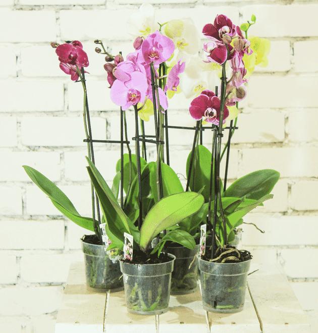 5 Orchideen im Mix